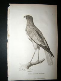 Shaw C1810 Antique Bird Print. Long Legged Falcon